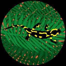 Sticker Salamandre sur...
